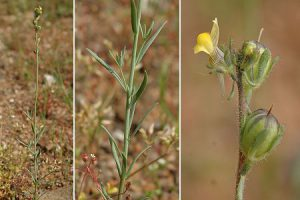 Linaria simplex